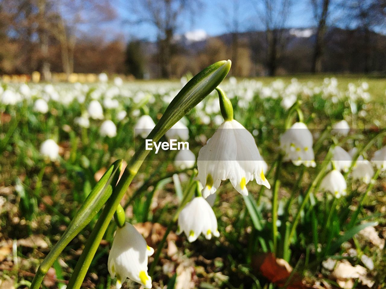 Close-up of white snowdrops in field