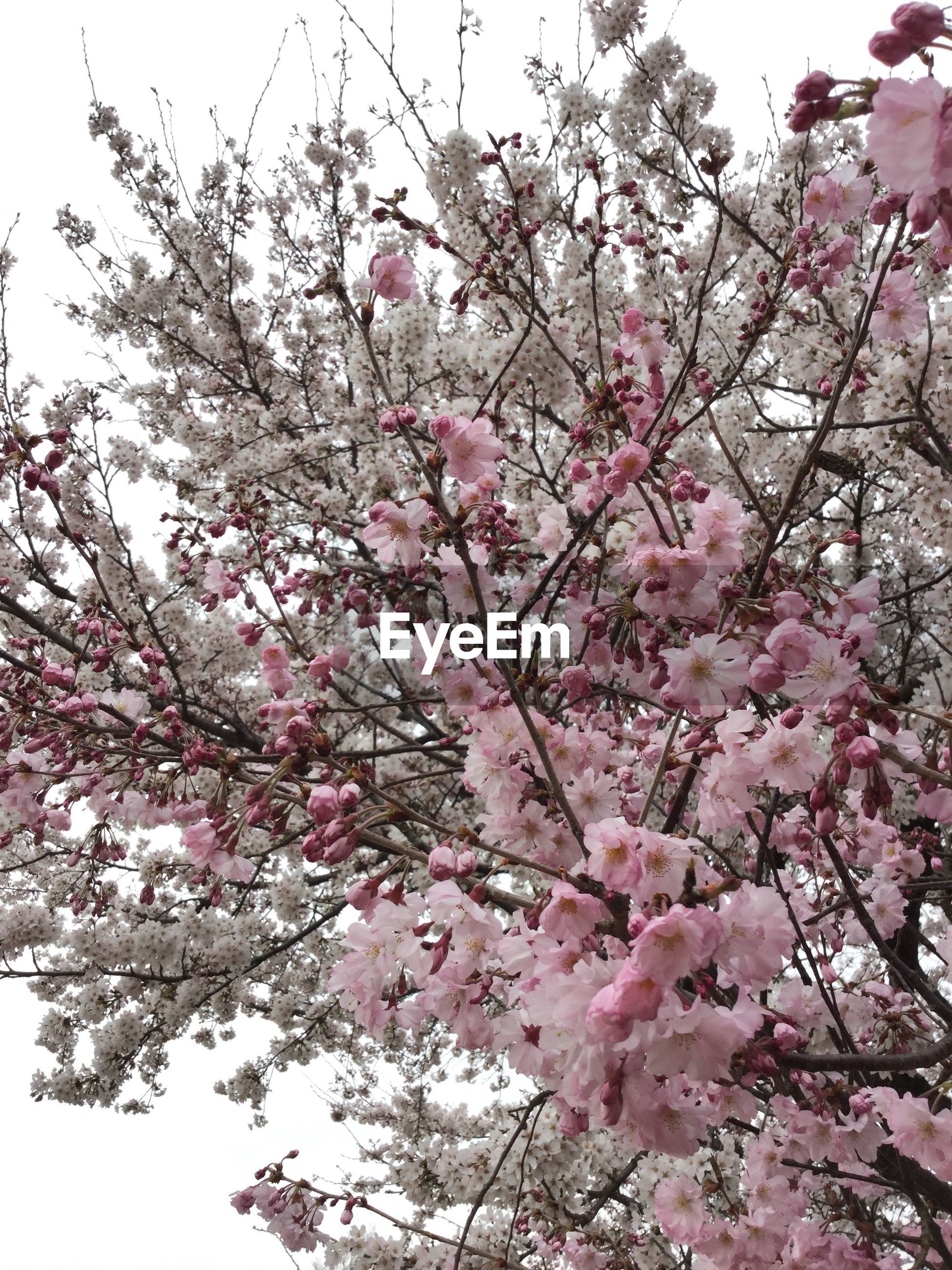 flower, freshness, tree, branch, pink color, fragility, growth, cherry blossom, low angle view, blossom, beauty in nature, cherry tree, nature, pink, springtime, in bloom, blooming, clear sky, sky, fruit tree