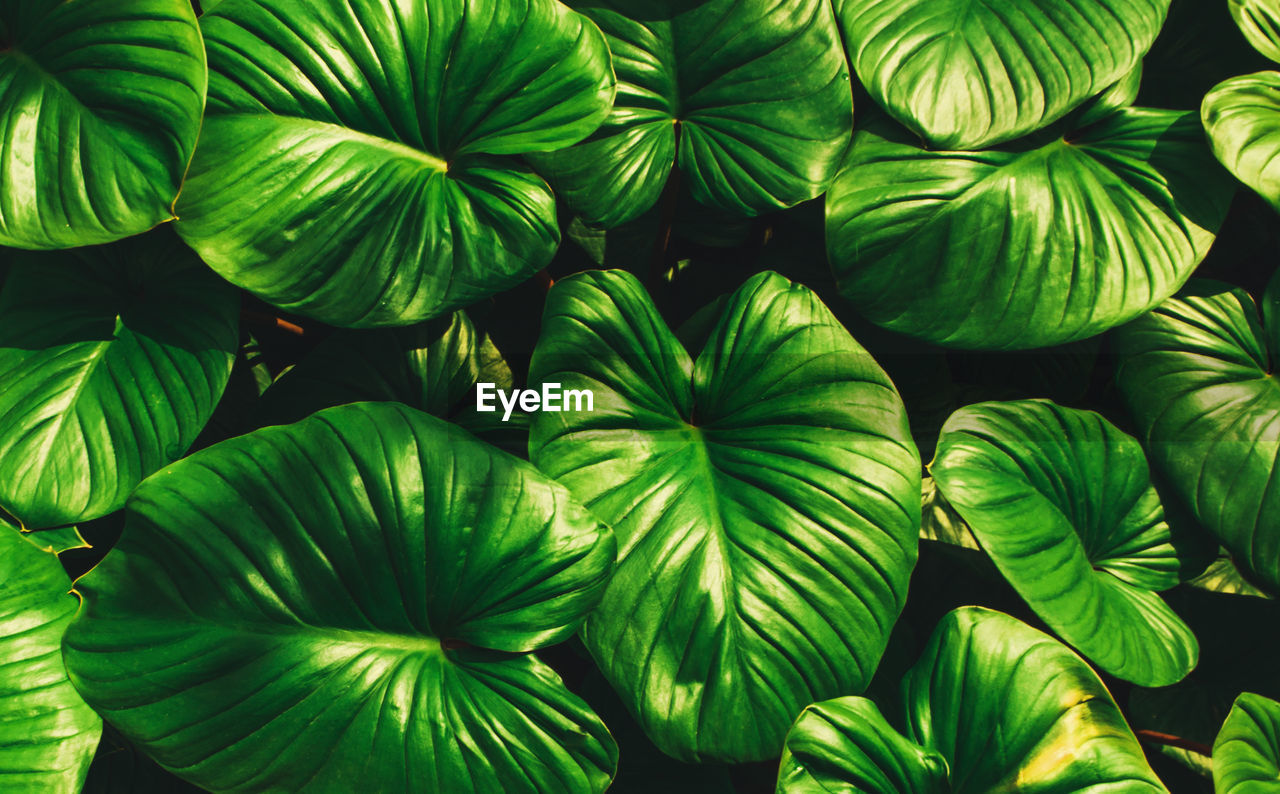 green color, full frame, backgrounds, no people, close-up, plant, pattern, abundance, growth, wellbeing, food, nature, leaf, food and drink, freshness, healthy eating, day, plant part, beauty in nature, large group of objects, leaves