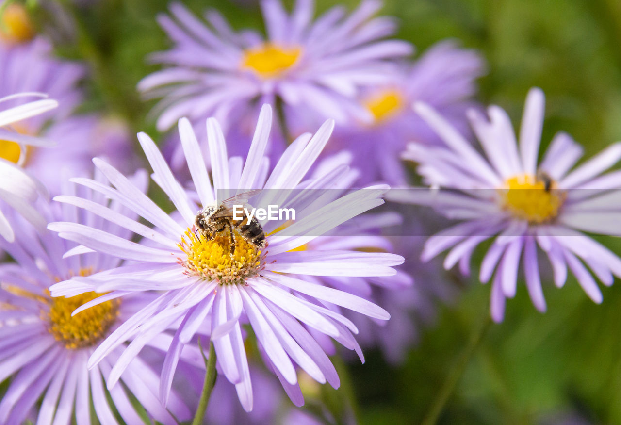 flower, flowering plant, fragility, freshness, vulnerability, petal, beauty in nature, plant, flower head, invertebrate, insect, growth, close-up, animals in the wild, animal themes, animal, animal wildlife, one animal, inflorescence, bee, pollen, purple, pollination, no people