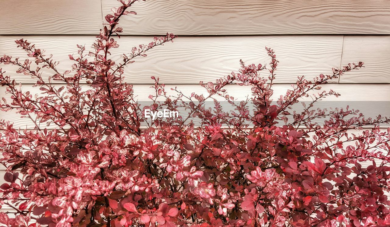 Plants with red leaves against wooden wall