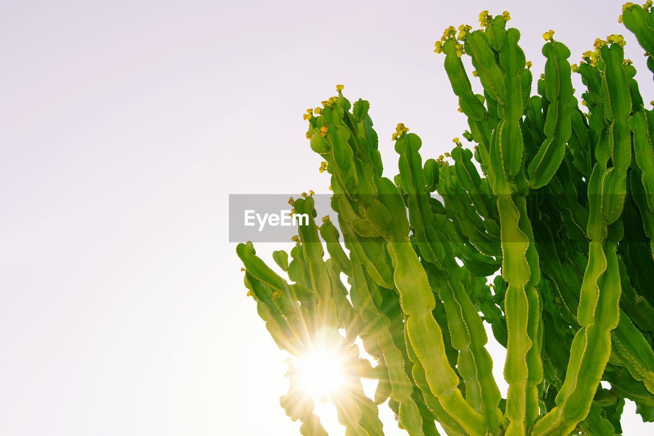 Low Angle View Of Cactus Plants Against Clear Sky On Sunny Day