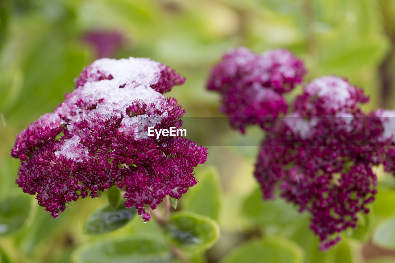 beauty in nature, flower, purple, plant, growth, freshness, flowering plant, vulnerability, close-up, fragility, no people, nature, day, selective focus, focus on foreground, outdoors, petal, botany, plant part, inflorescence, flower head, lilac, softness