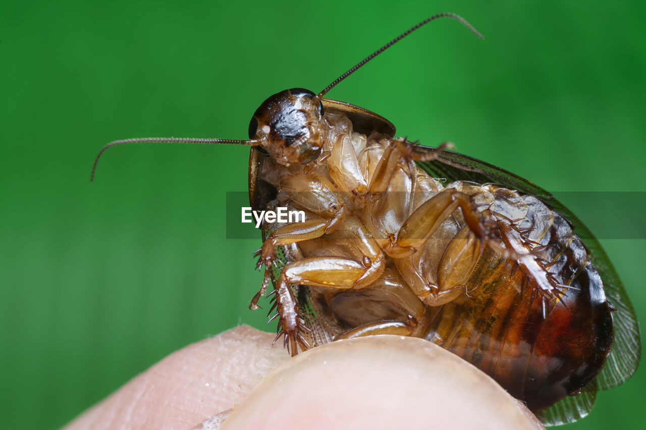 Household baby cockroach