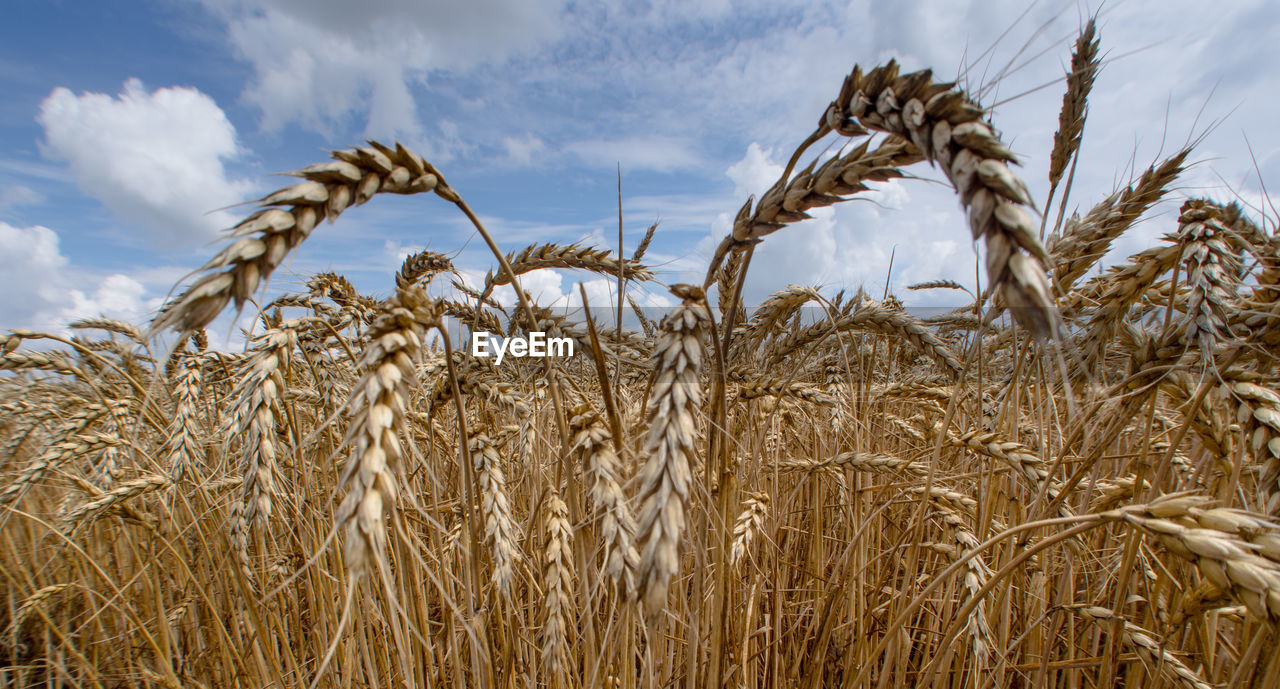 agriculture, growth, cereal plant, rural scene, plant, sky, field, crop, landscape, land, farm, cloud - sky, nature, wheat, beauty in nature, tranquility, no people, day, close-up, ear of wheat, stalk, plantation