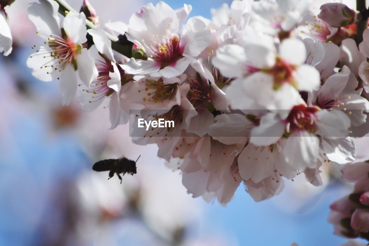 flower, flowering plant, growth, beauty in nature, plant, fragility, freshness, vulnerability, petal, close-up, flower head, springtime, tree, blossom, white color, no people, day, pollen, selective focus, inflorescence, cherry blossom, cherry tree, plum blossom, pollination