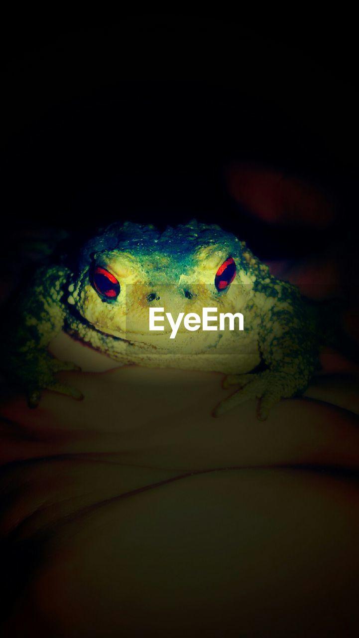 Close-Up Of Frog At Night