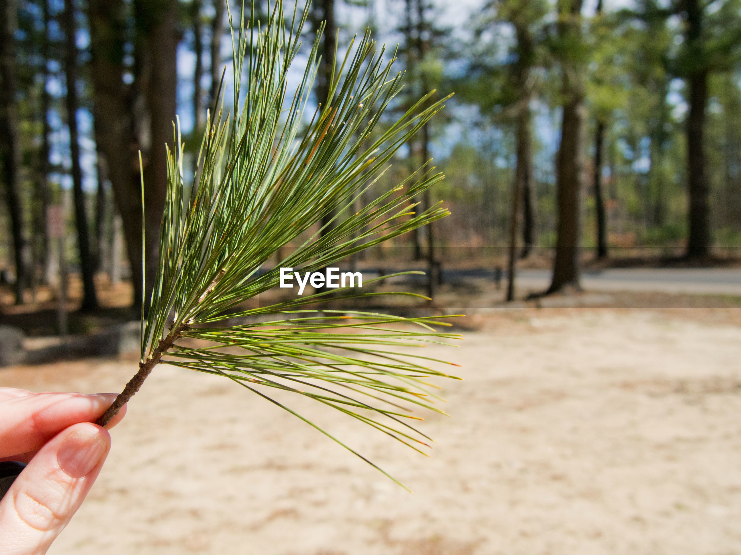 Close-up of hand holding pine needle in forest