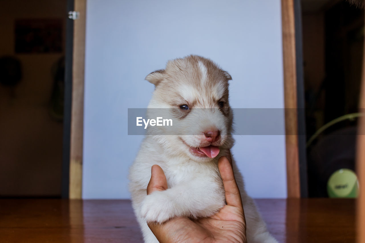 domestic, pets, mammal, domestic animals, one animal, vertebrate, canine, dog, indoors, home interior, one person, young animal, human hand, looking, close-up, real people, puppy, pet owner