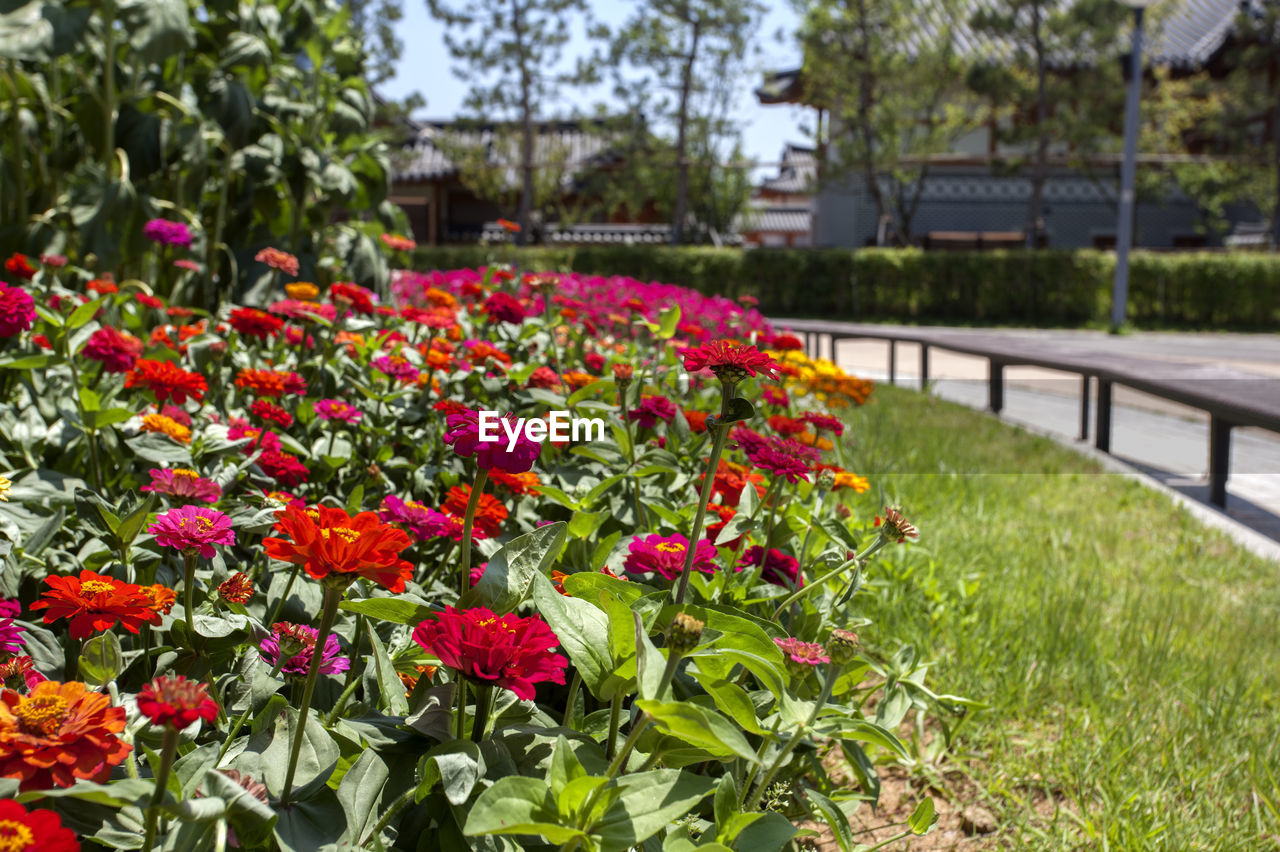 Close-up of zinnia flowers blooming at songdo central park