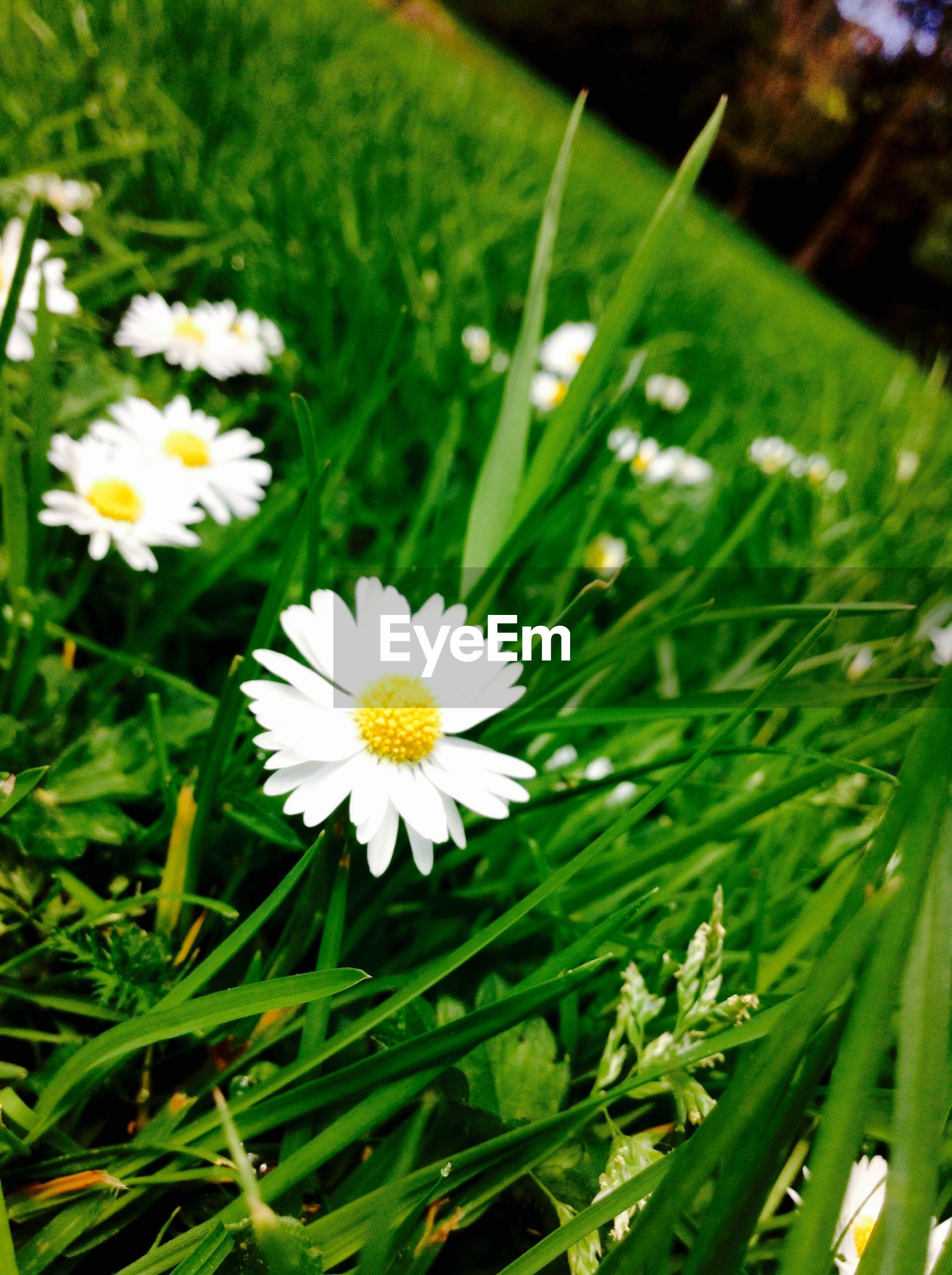 flower, freshness, fragility, growth, petal, white color, flower head, beauty in nature, daisy, green color, blooming, nature, plant, field, grass, focus on foreground, close-up, in bloom, yellow, high angle view