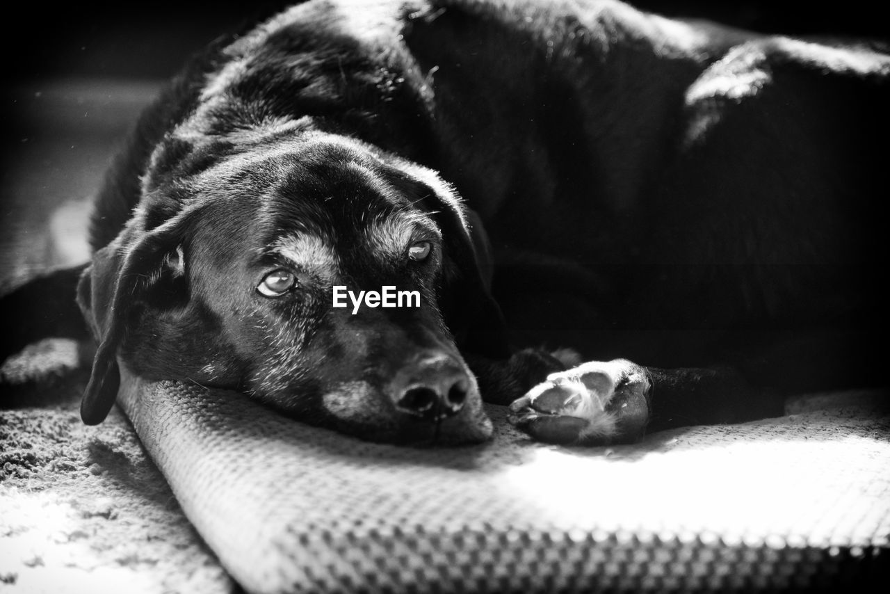 dog, pets, domestic animals, mammal, animal themes, lying down, relaxation, black color, one animal, labrador retriever, no people, black labrador, close-up, indoors, day