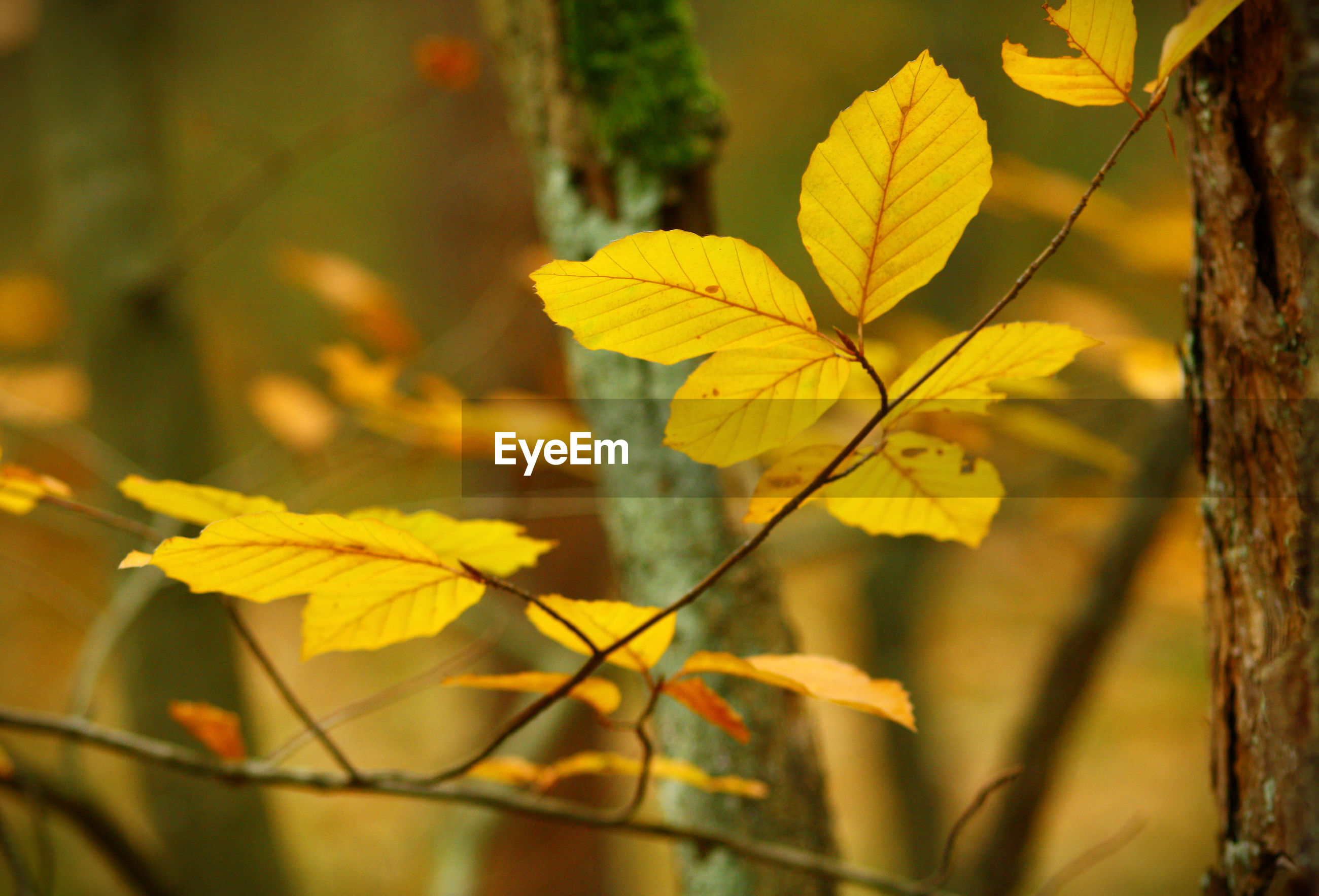 CLOSE-UP OF YELLOW AUTUMNAL LEAVES