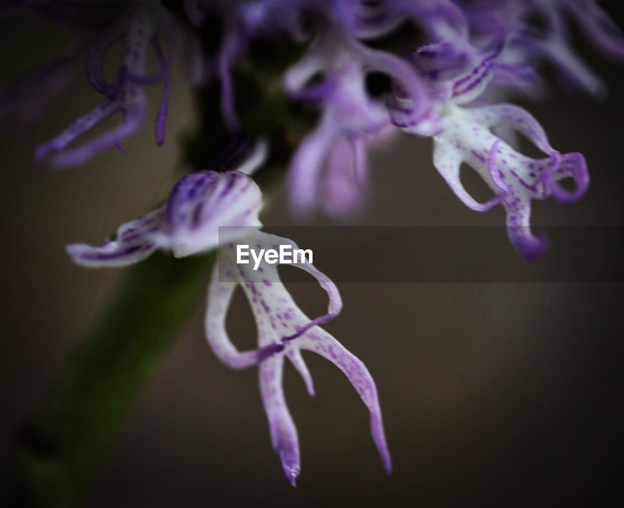 flower, flowering plant, vulnerability, beauty in nature, fragility, close-up, plant, petal, freshness, purple, flower head, inflorescence, growth, selective focus, nature, no people, pollen, focus on foreground, indoors, botany, black background, iris - plant