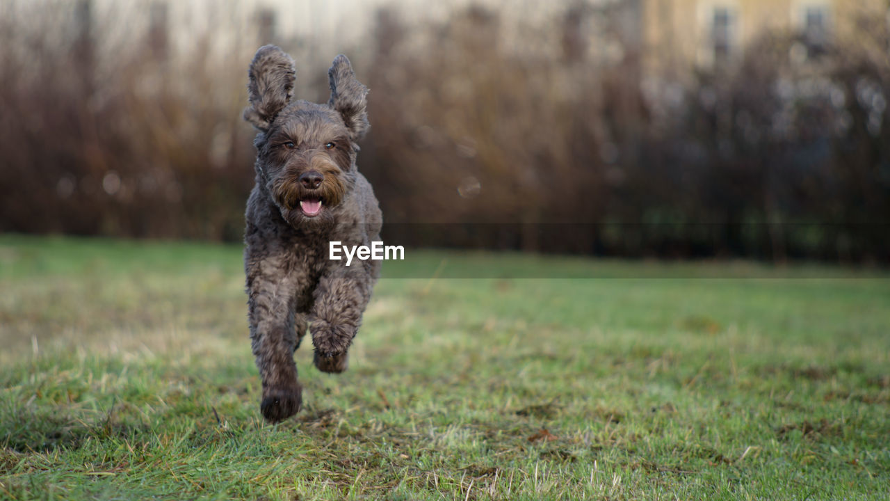 one animal, canine, dog, pets, animal themes, domestic animals, animal, domestic, mammal, running, grass, vertebrate, land, field, focus on foreground, plant, motion, nature, day, no people, mouth open