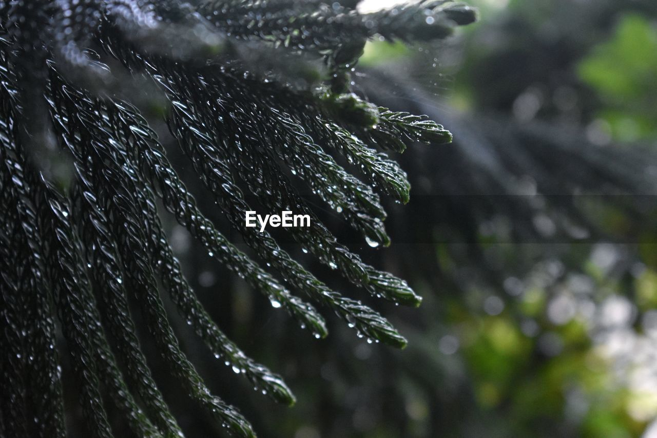drop, water, wet, plant, close-up, focus on foreground, nature, beauty in nature, selective focus, growth, rain, no people, day, outdoors, raindrop, tranquility, tree, freshness, rainy season, pine tree, coniferous tree, dew, leaves, purity