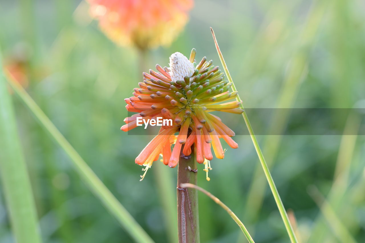 plant, flowering plant, beauty in nature, growth, flower, fragility, vulnerability, freshness, close-up, petal, focus on foreground, flower head, inflorescence, plant stem, nature, day, no people, orange color, green color, outdoors, pollen