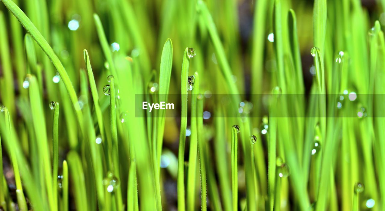 green color, plant, growth, close-up, drop, wet, nature, water, no people, blade of grass, beauty in nature, grass, full frame, backgrounds, freshness, selective focus, day, outdoors, focus on foreground, dew, raindrop