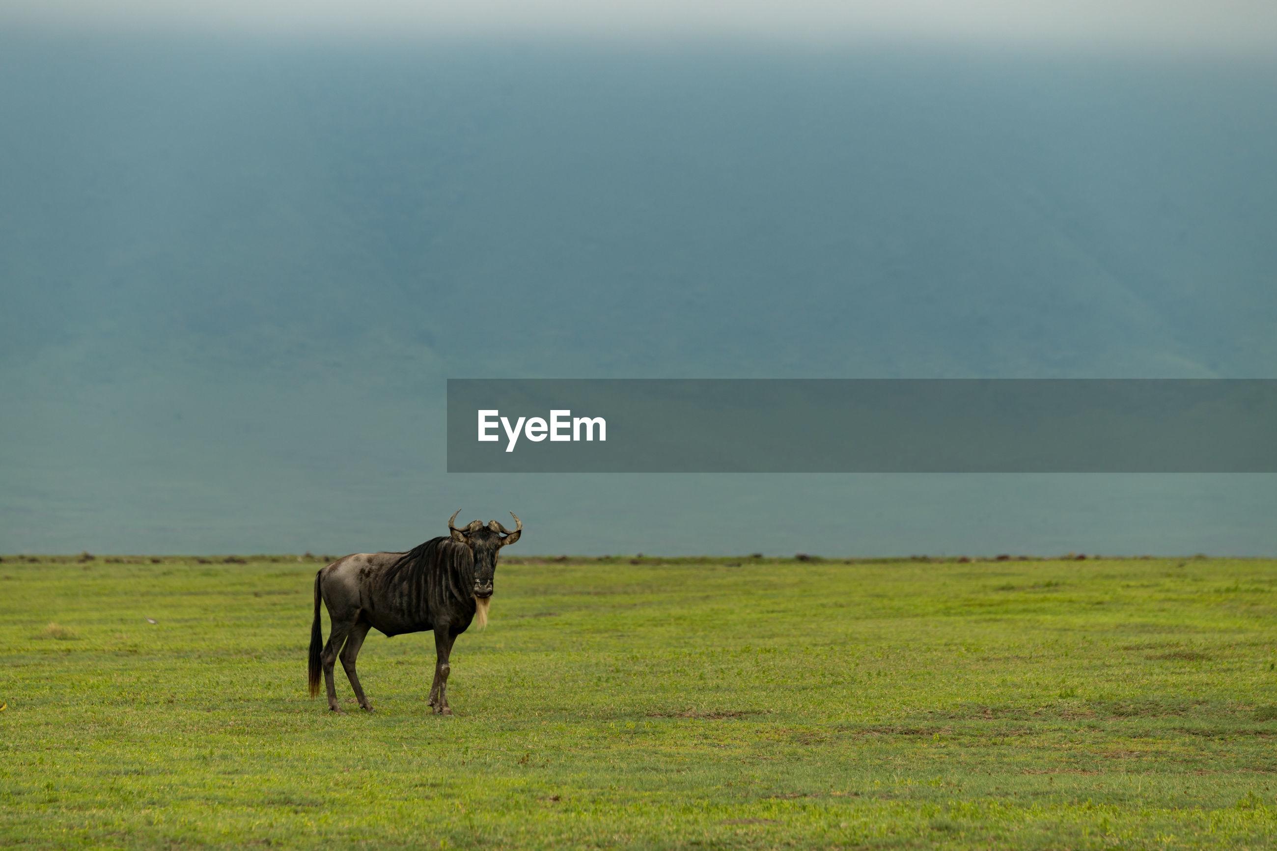 Wildebeest standing on grassy field against sky