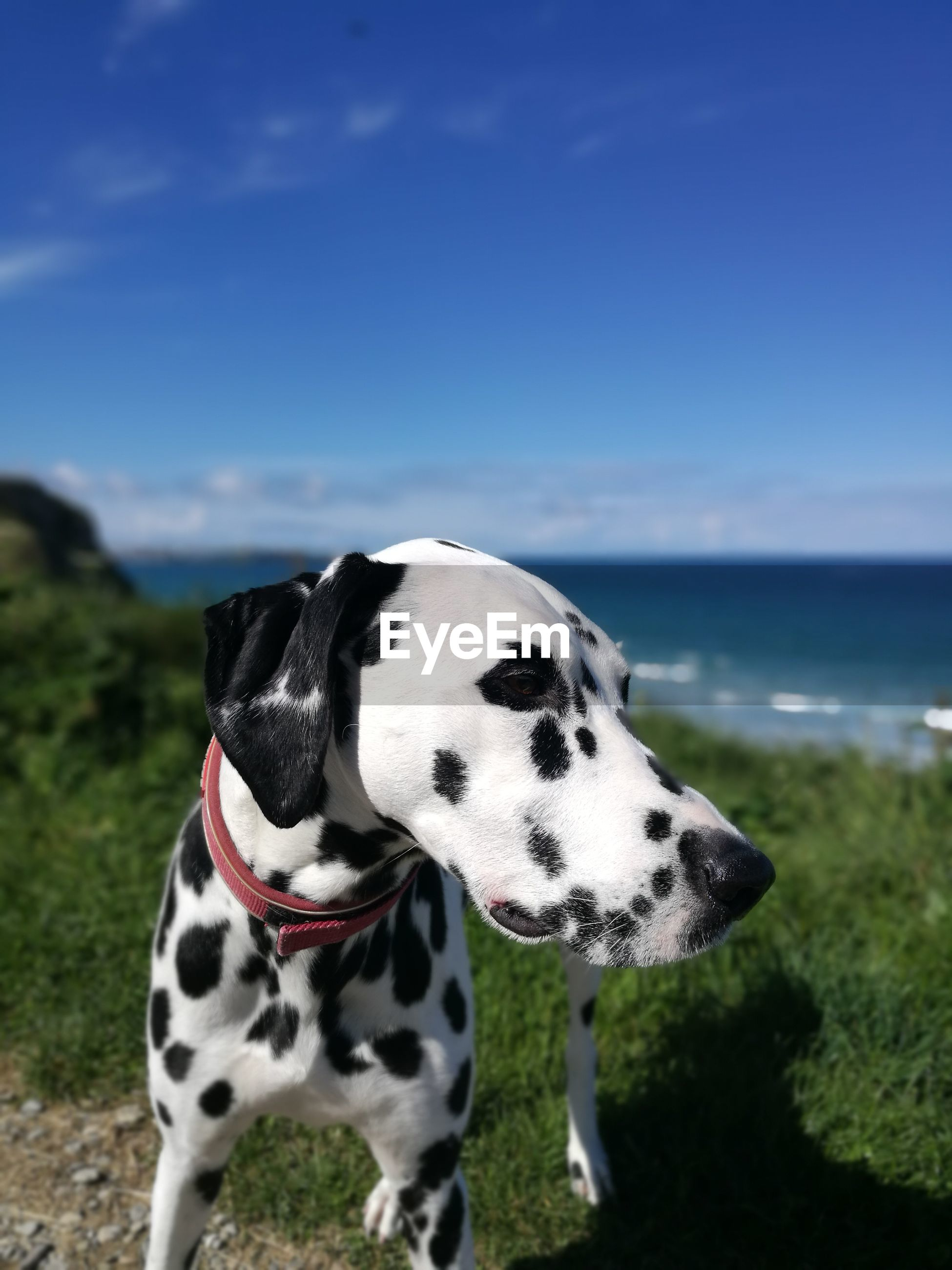 one animal, animal, animal themes, sky, mammal, dalmatian dog, canine, domestic animals, dog, vertebrate, pets, domestic, no people, nature, focus on foreground, day, sea, land, water, spotted, outdoors, animal head, purebred dog