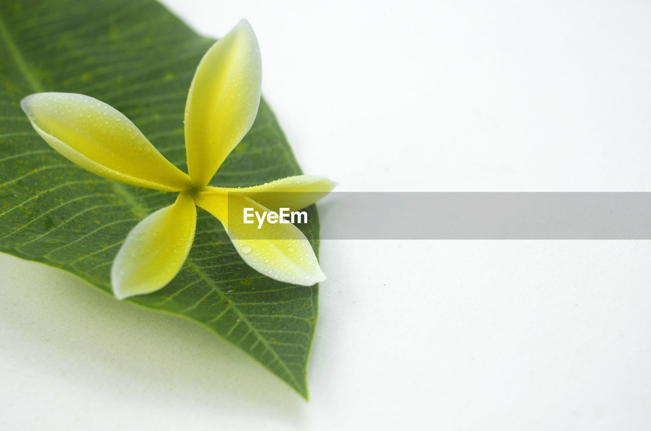 leaf, green color, close-up, white background, fragility, plant, freshness, studio shot, no people, nature, beauty in nature, indoors, day, flower head, periwinkle