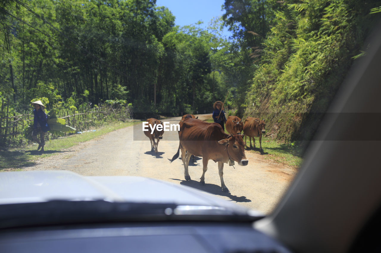 Farmers With Domestic Cattle On Road Seen Through Windshield