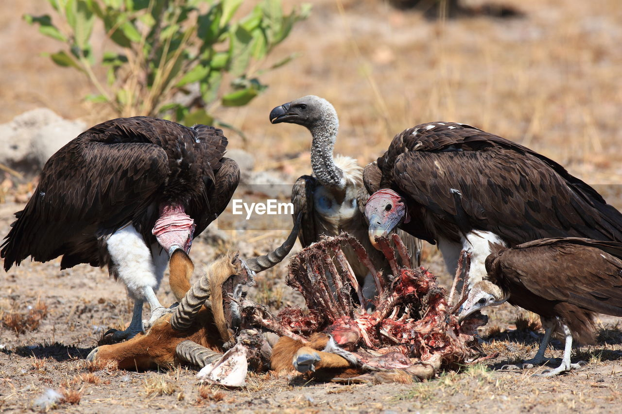 Side view of birds eating carcass