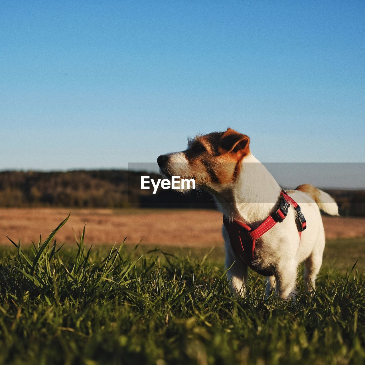 Dog Standing On Grassy Field Against Clear Sky