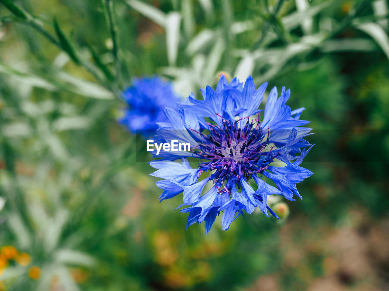 flower, nature, growth, plant, purple, beauty in nature, blue, blooming, no people, outdoors, freshness, close-up, day