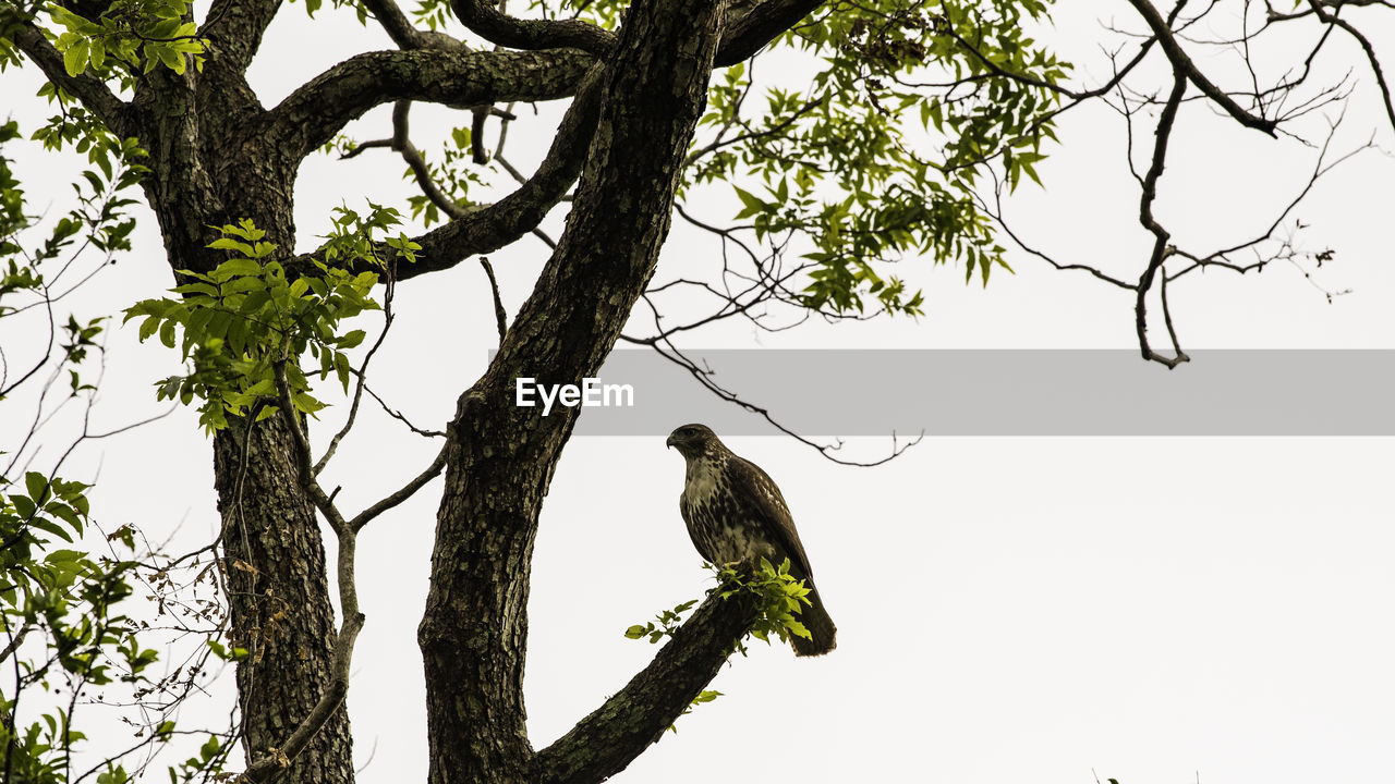 tree, bird, animal wildlife, animals in the wild, animal, vertebrate, plant, animal themes, branch, perching, one animal, low angle view, nature, sky, no people, day, outdoors, clear sky, tree trunk, green color, eagle