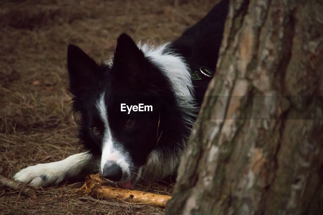 mammal, animal themes, domestic animals, one animal, pets, domestic, animal, dog, vertebrate, canine, no people, tree, close-up, tree trunk, portrait, looking, relaxation, trunk, looking at camera, focus on foreground, border collie, animal head