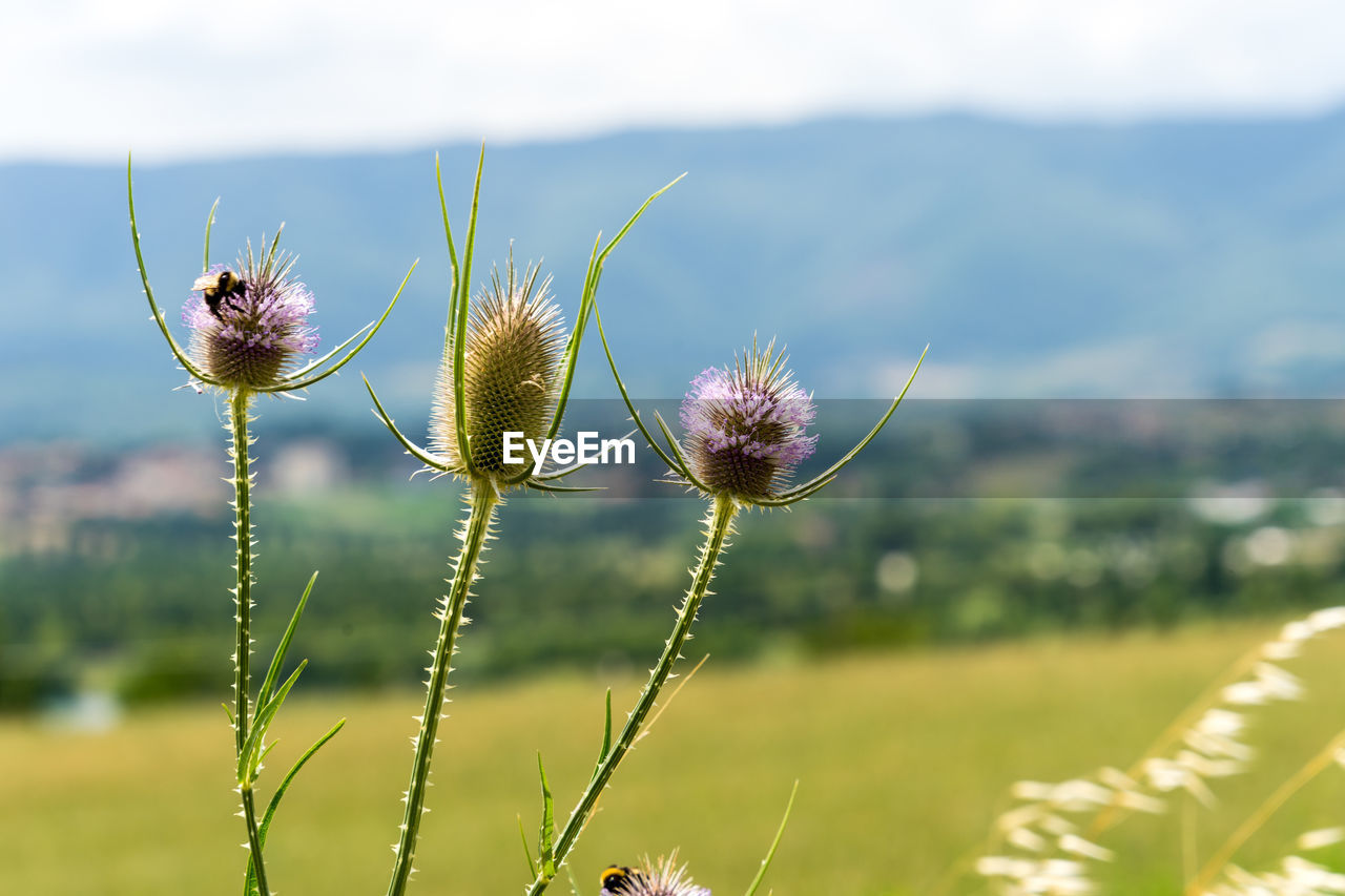 plant, flower, flowering plant, growth, focus on foreground, beauty in nature, fragility, close-up, nature, vulnerability, field, freshness, land, day, no people, flower head, inflorescence, thistle, plant stem, outdoors, pollen, sepal