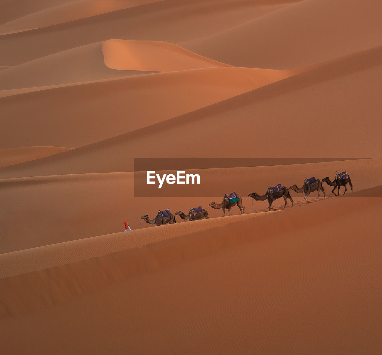 Man With Camels Walking In Desert