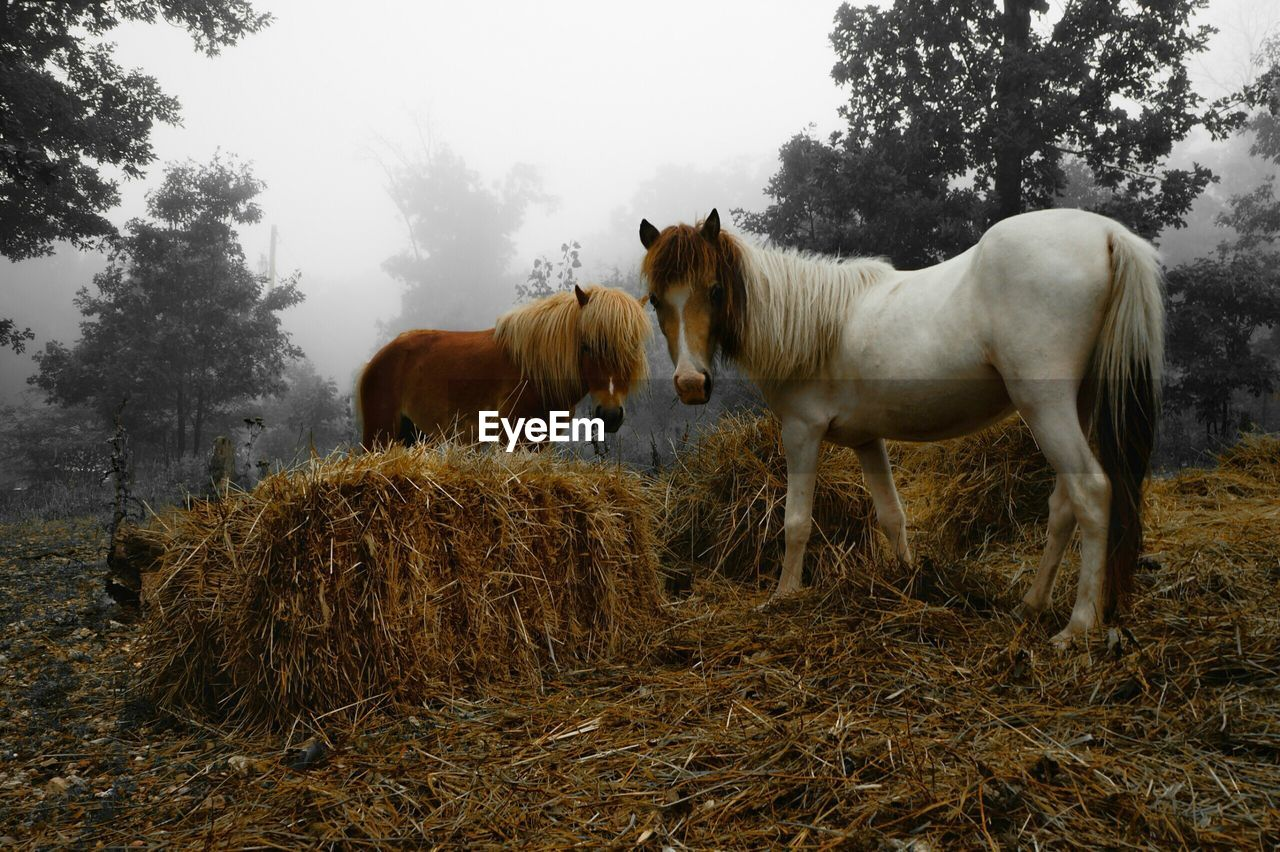 Miniature horses on field by hay