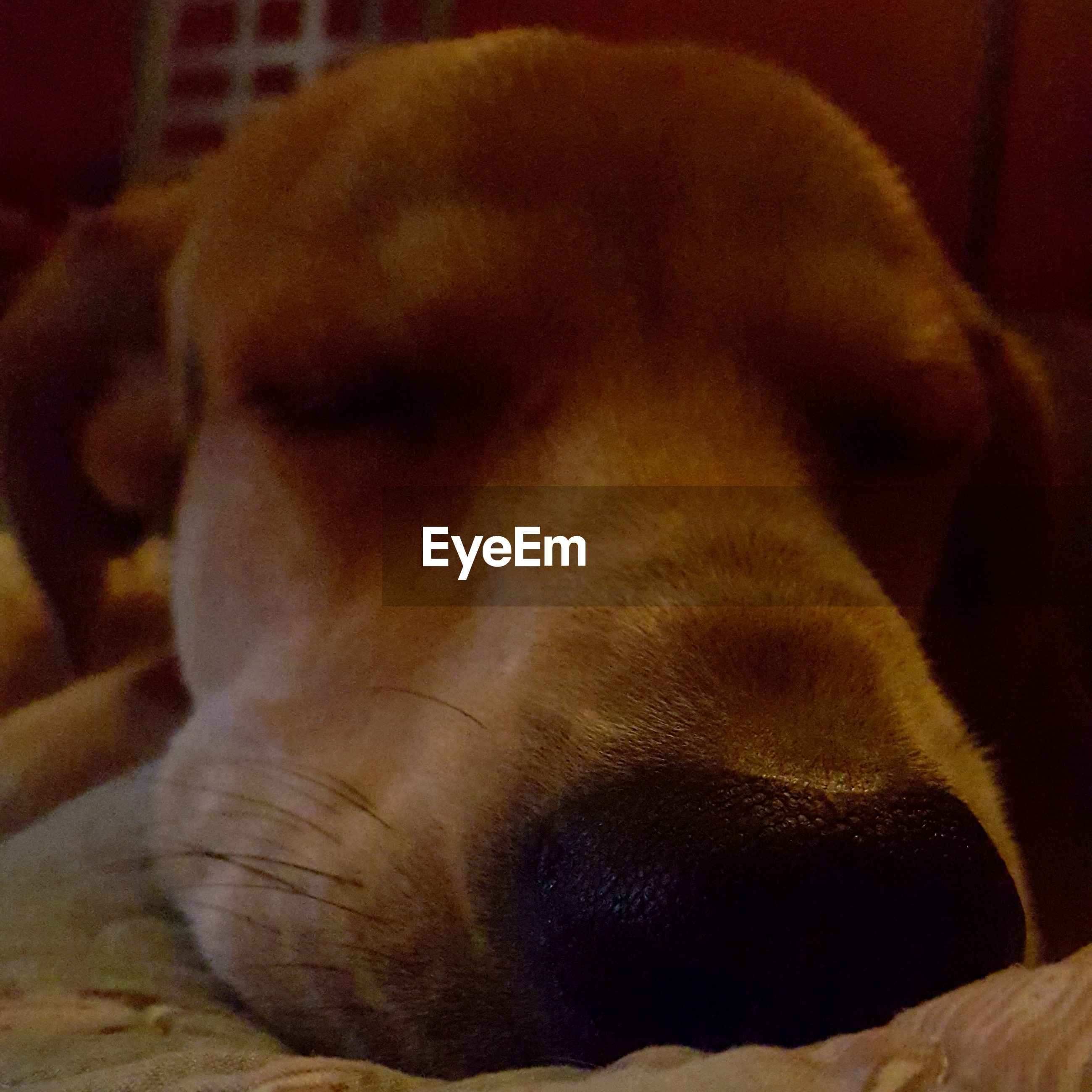 one animal, dog, pets, domestic animals, animal themes, mammal, close-up, indoors, no people, relaxation, lying down, animal head, sleeping, day, beagle