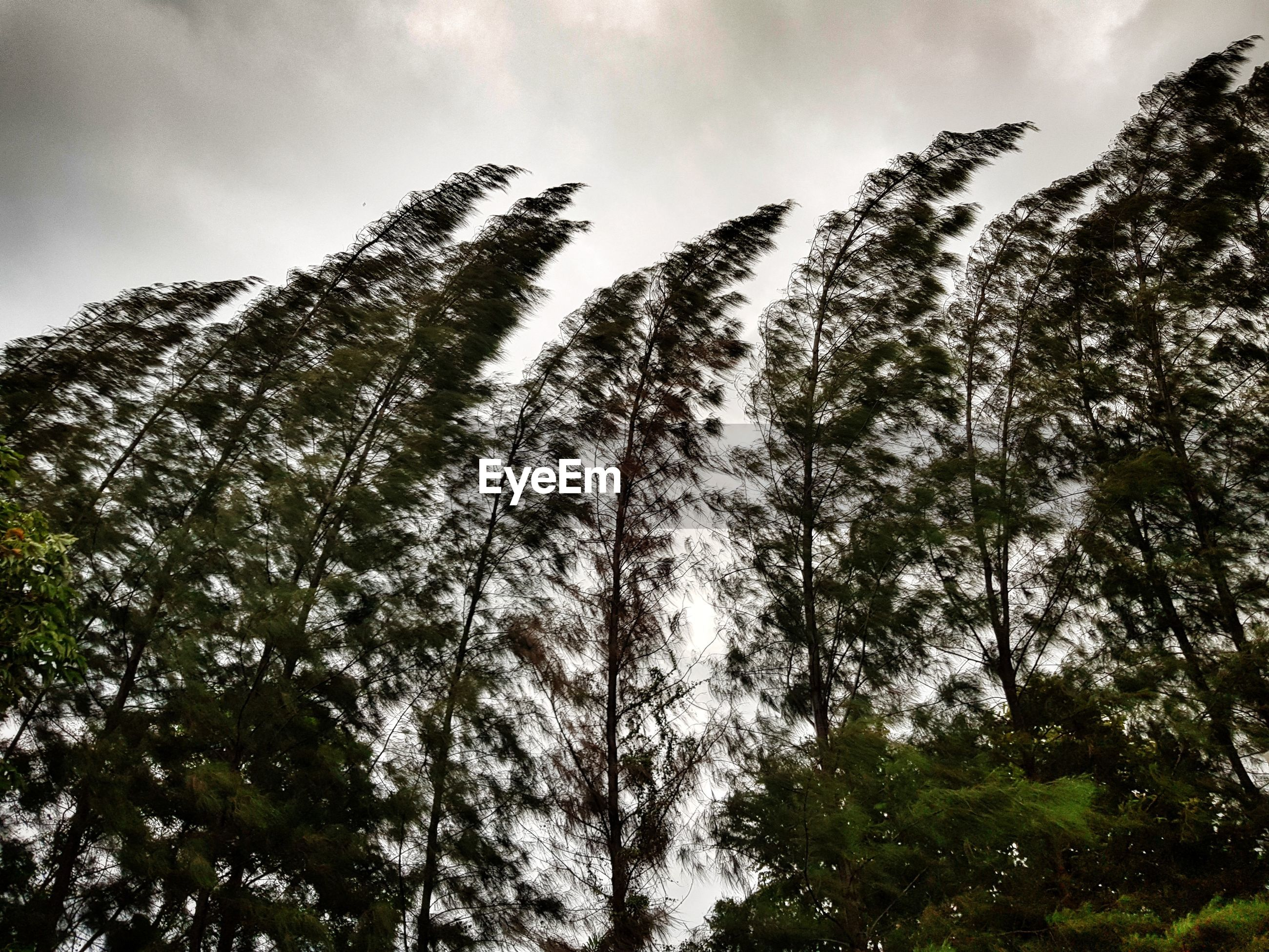 LOW ANGLE VIEW OF TALL TREES AGAINST SKY