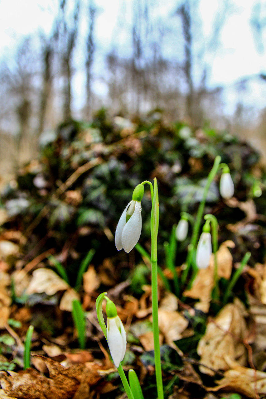 growth, flower, nature, fragility, beauty in nature, petal, plant, freshness, snowdrop, flower head, day, focus on foreground, outdoors, no people, close-up, green color, blooming, crocus