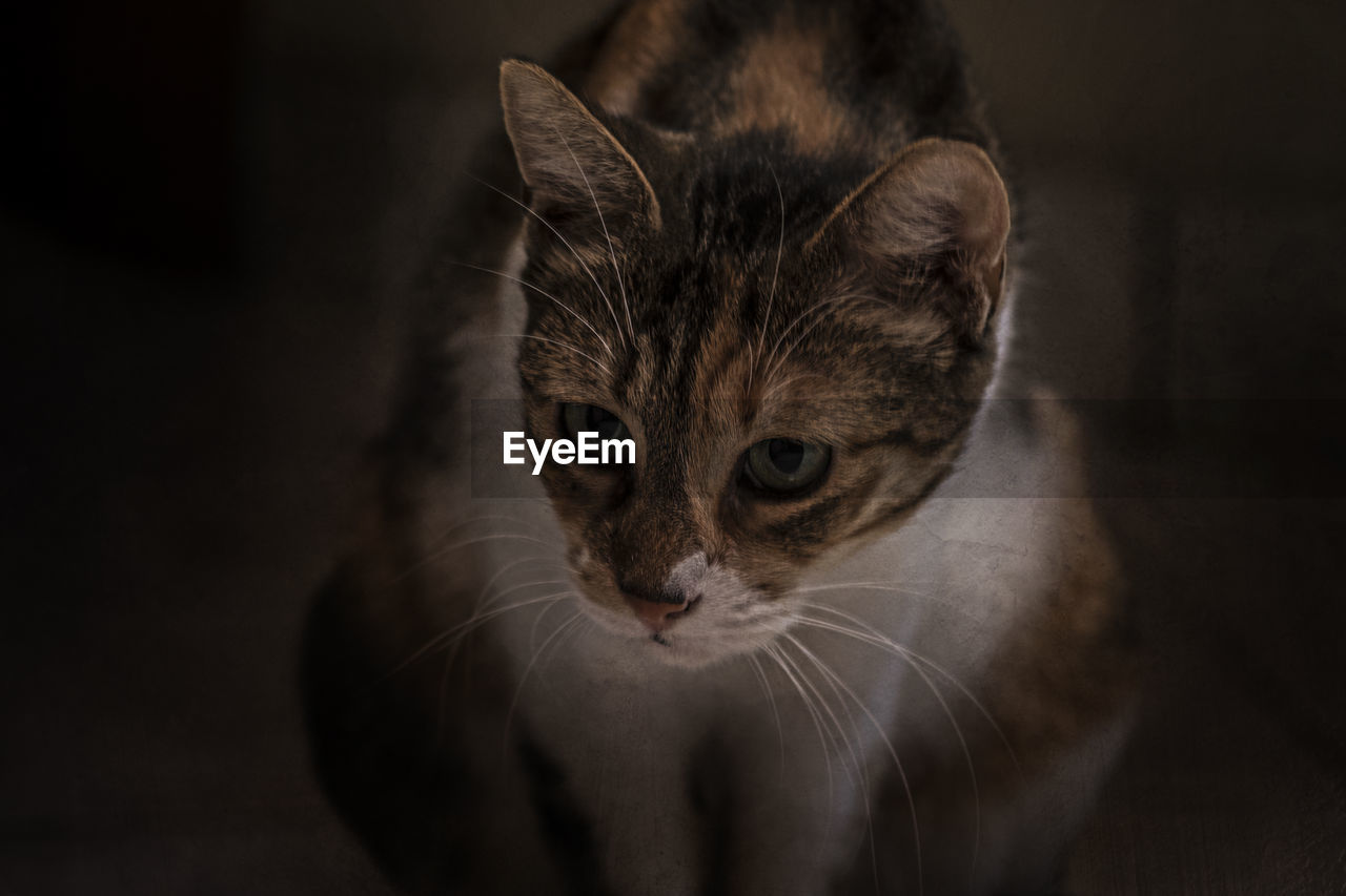 cat, mammal, feline, pets, domestic, one animal, domestic cat, domestic animals, vertebrate, whisker, portrait, indoors, looking at camera, no people, close-up, looking, animal body part, animal eye
