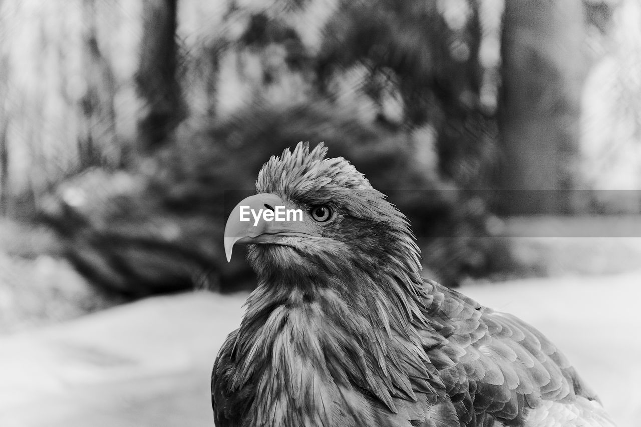 animal themes, animal, bird, one animal, vertebrate, focus on foreground, bird of prey, no people, animals in the wild, animal wildlife, day, close-up, nature, beak, looking, animal body part, outdoors, looking away, eagle, animal head, animal eye