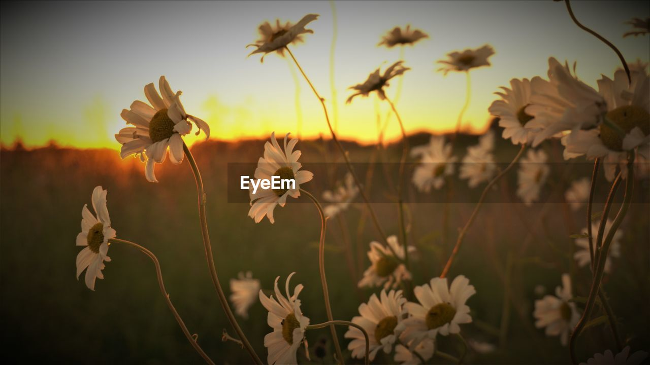 flowering plant, plant, flower, beauty in nature, fragility, growth, vulnerability, freshness, close-up, nature, field, no people, petal, focus on foreground, tranquility, land, sky, outdoors, sunset, flower head