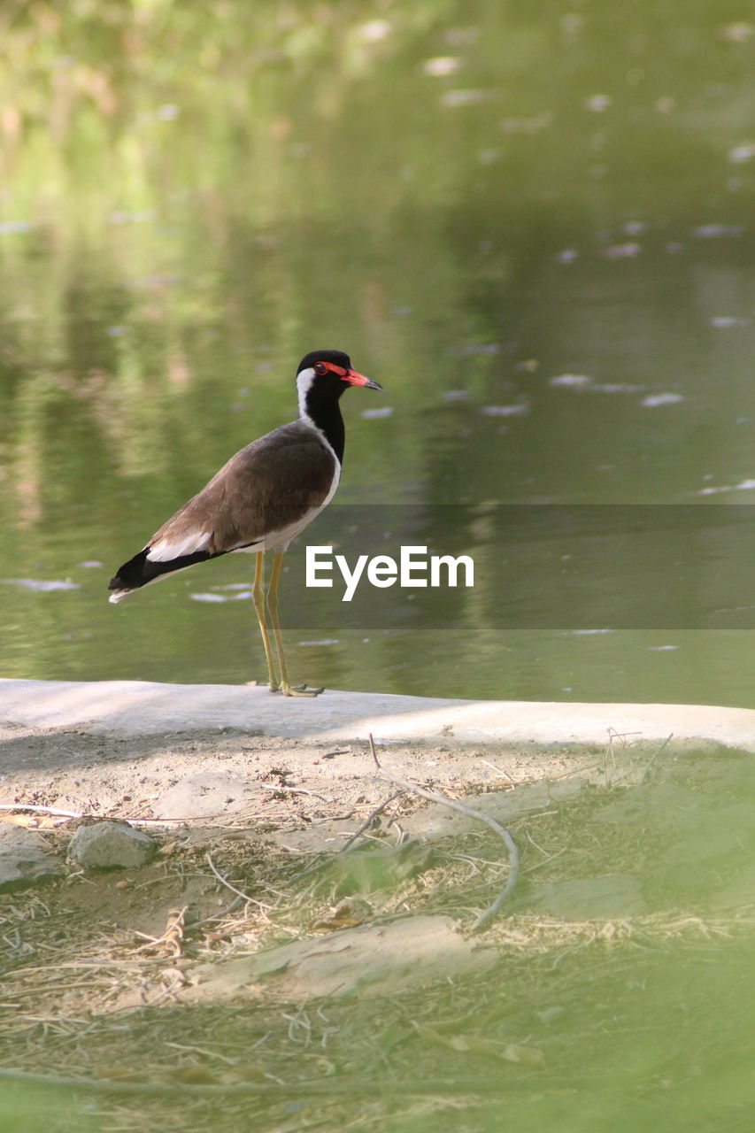 animals in the wild, animal wildlife, animal themes, animal, vertebrate, one animal, bird, water, day, lake, side view, nature, no people, perching, full length, selective focus, outdoors, sunlight, motion