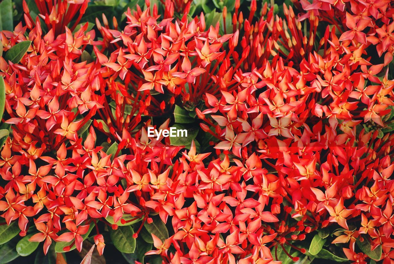 growth, flower, petal, ixora, beauty in nature, nature, fragility, freshness, plant, red, leaf, blooming, flower head, day, outdoors, no people, close-up