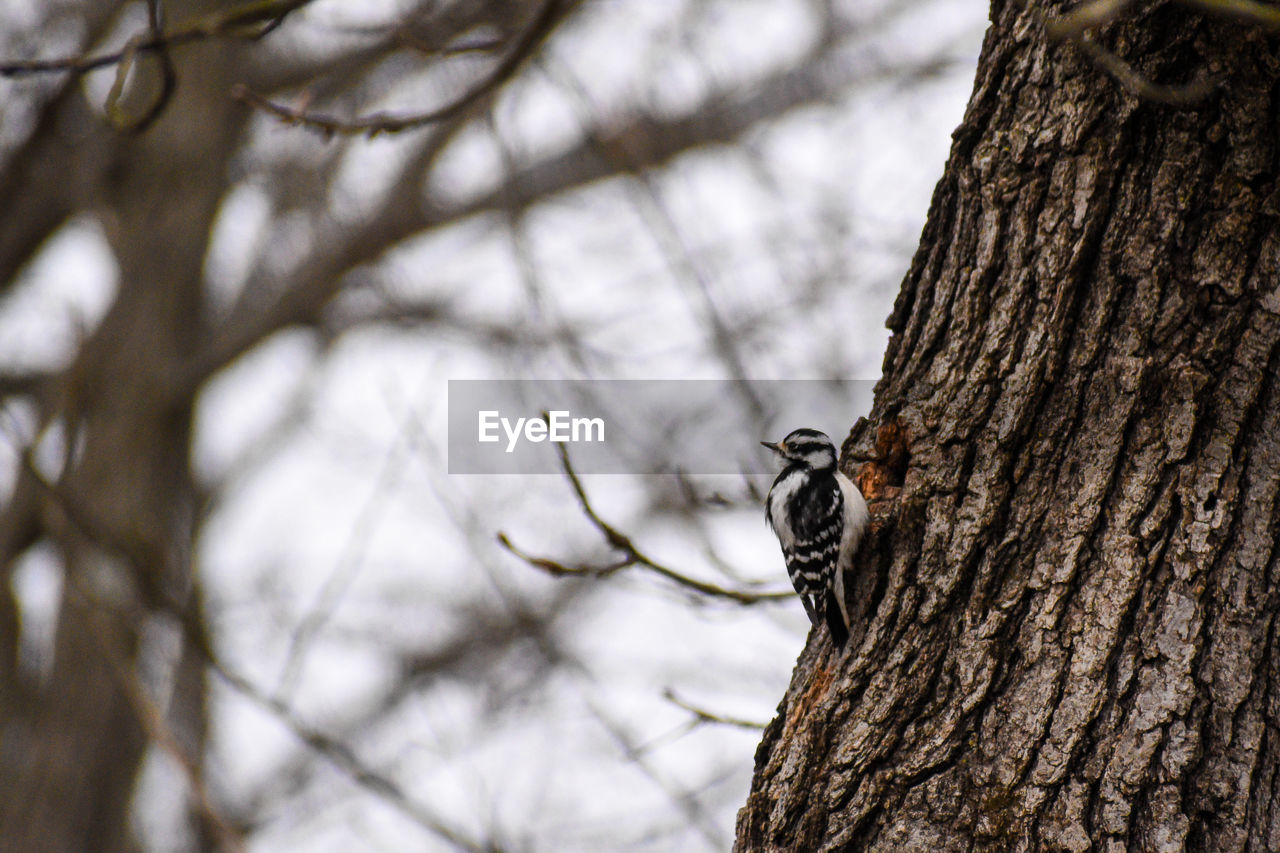 tree, animal wildlife, animal themes, tree trunk, animals in the wild, trunk, one animal, plant, animal, vertebrate, focus on foreground, nature, branch, bird, woodpecker, no people, low angle view, perching, day, plant bark, outdoors