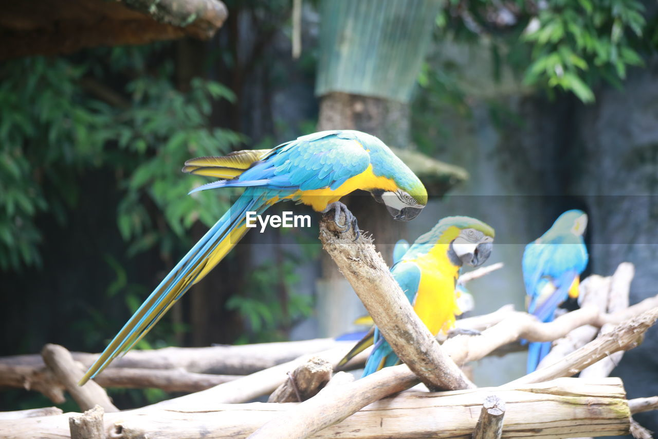 animal wildlife, animal themes, animal, vertebrate, bird, animals in the wild, perching, tree, focus on foreground, nature, day, no people, branch, group of animals, wood - material, macaw, parrot, blue, two animals, outdoors, beak