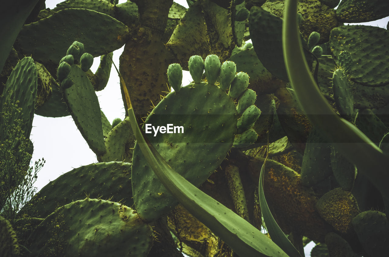 Low Angle View Of Prickly Pear Cactus