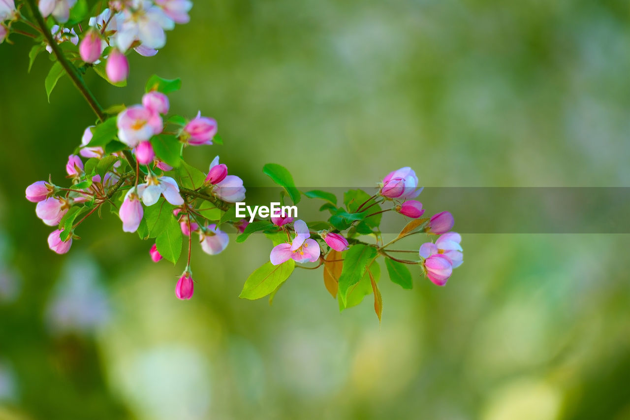 flower, fragility, nature, growth, beauty in nature, petal, freshness, outdoors, pink color, day, blooming, plant, no people, flower head, springtime, close-up, tree