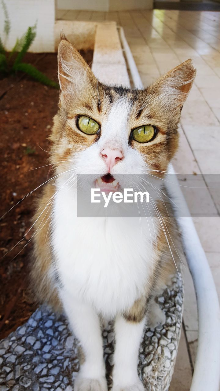 domestic, cat, pets, domestic cat, mammal, domestic animals, feline, one animal, vertebrate, portrait, whisker, no people, close-up, looking at camera, focus on foreground, animal body part, day, mouth open, animal eye