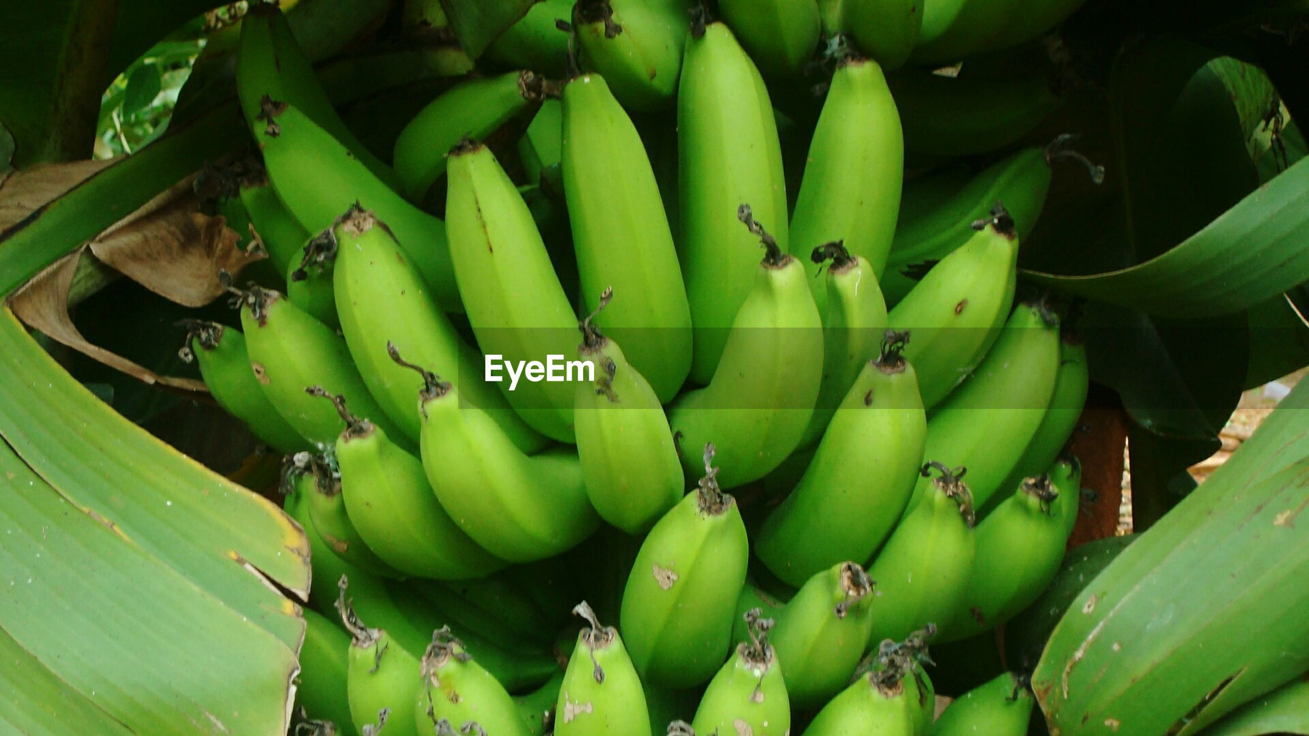 green color, close-up, growth, banana, danger, freshness, plant, green, selective focus, nature, bunch, succulent plant, full frame, vibrant color, thorn, abundance, spiked