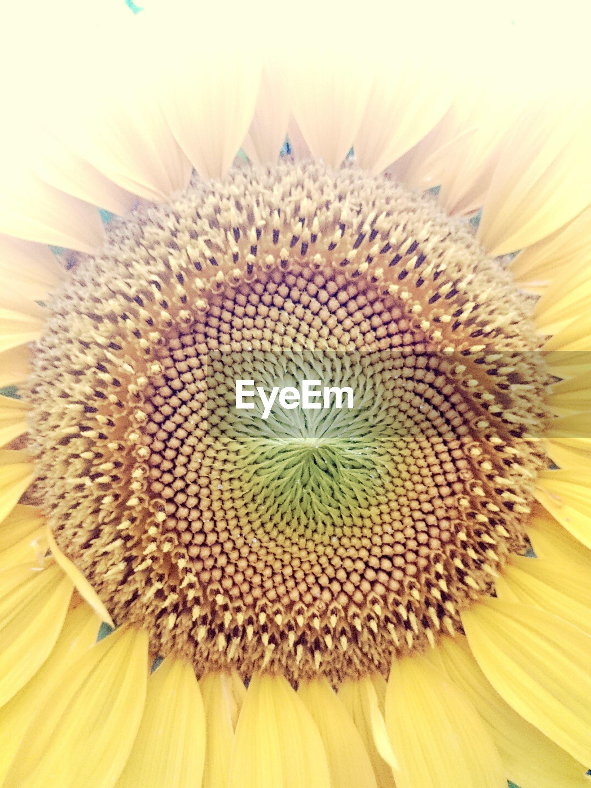 Full frame shot of sunflower blooming outdoors