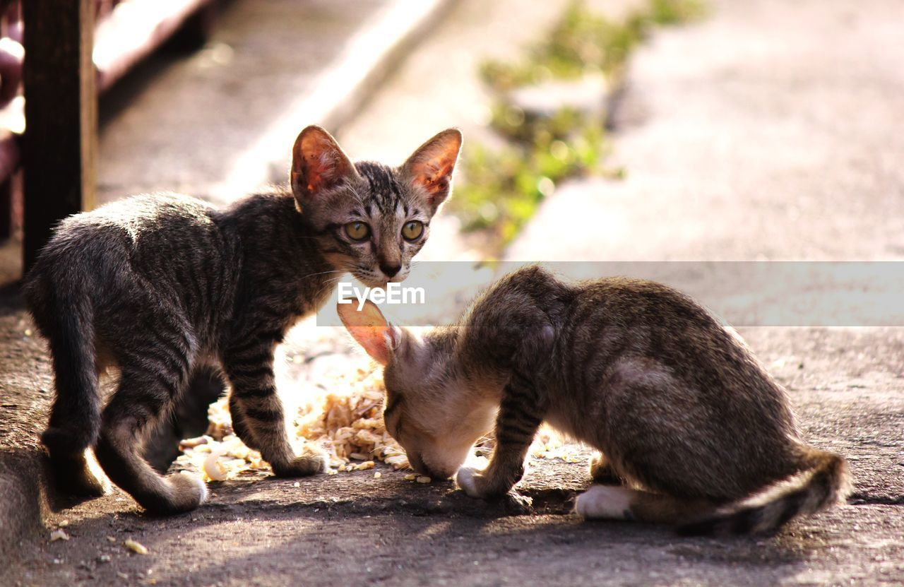 domestic cat, feline, animal themes, pets, domestic animals, mammal, cat, outdoors, no people, sitting, looking at camera, portrait, day, kitten, close-up
